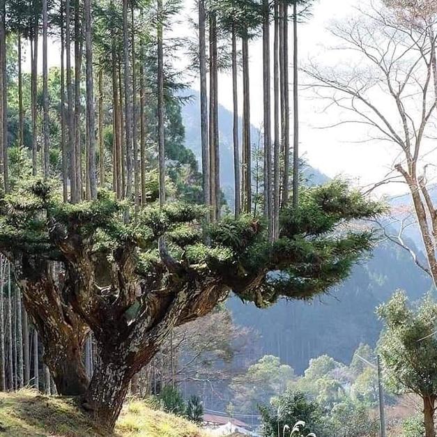 日本種樹技巧-「台杉」